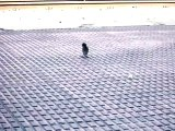 Gorriones