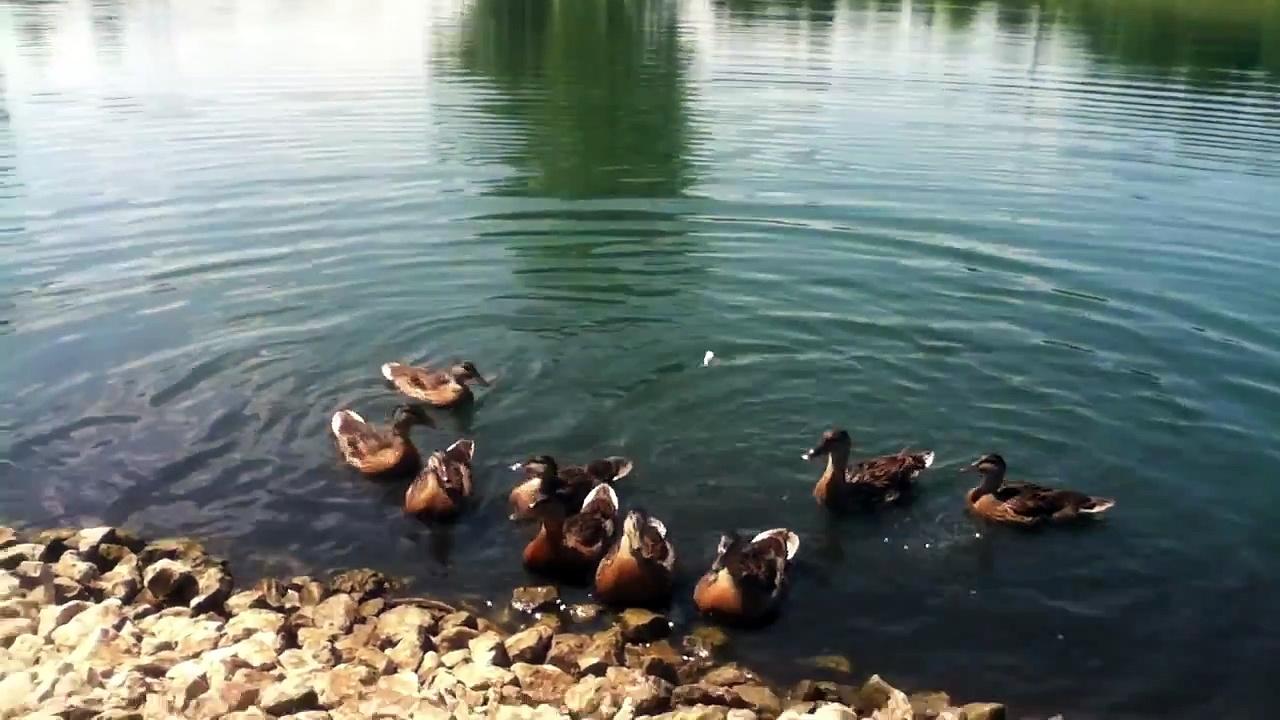 Duckses