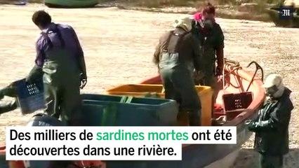 Chili : une rivière recouverte de sardines mortes