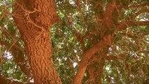 The Blessed Tree - Living Sahabi - Short Documentary