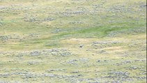 Grizzly Bear and Cubs Sighting - Yellowstone