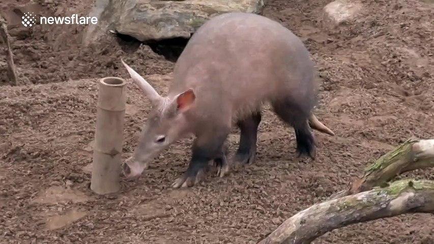 Cute Aardvark In Eating Frenzy At Zoo Video Dailymotion
