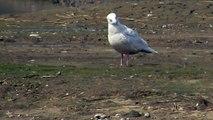 Iceland Gull (larus glaucoides)