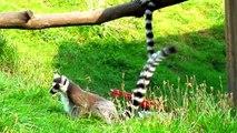 Ring Tailed Lemur in Opole Zoo Lemur Katta w Zoo Opole