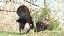 Midday Gobbler on a Youth Turkey Hunt in Missouri