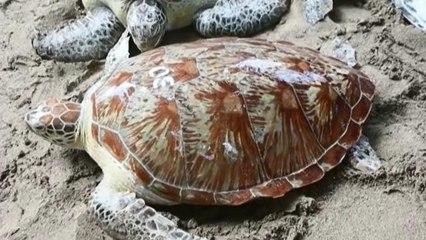 La policía indonesia pone en libertad una treintena de tortugas marinas