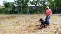 Back Up Gun Fire Test- Doberman Attack Training with gun fire ProtectionDogSales.com