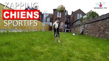 Des chiens qui attrapent des balles comme des sportifs ! Ou presque? Maintenant dans notre Zapping Chiens Sportifs !