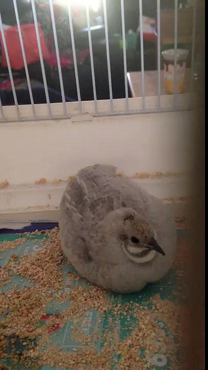 My little quail baby