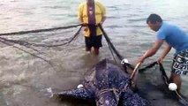 Des hommes sauvent une tortue de mer piégée dans un filet de pêche. Beau geste