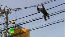 Un singe s'échappe d'un zoo et déambule sur une ligne électrique
