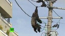 Un singe échappé d'un zoo s'électrocute en grimpant sur des lignes électriques