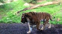 Ne pas réveiller un tigre pendant la sieste