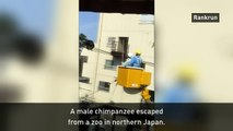 Chimp escapes Japanese zoo using power cables