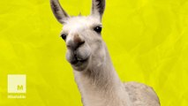 5 wild llama facts that prove how awesomely weird these animals are
