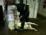 Shearing : la tonte des moutons australiens