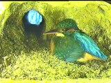 Live aus der Eisvogel Bruthoehle (68)