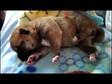 Cutest Puppies Falling Asleep - Puppies - Cute Compilation