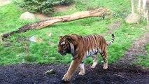Ne tentez jamais de réveiller un tigre pendant sa sieste
