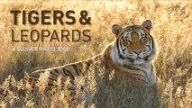 Hip Cats - Tigers & Leopards