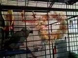 My Parrot Wilf is feeling fruity.....AGAIN!