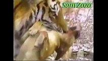 Pit bull vs tiger, vs leopard  Mountain lion vs dog Fight