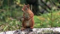 RÖD EKORRE  Red Squirrel  (Sciurus vulgaris)  Klipp - 1766