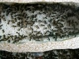 Large Lasius niger colony (about 4 000 workers)/ Wielka kolonia Lasius niger (około 4 000 robotnic)