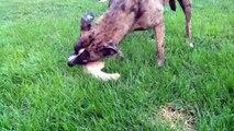 Feeding Raw Meaty Bones to dogs