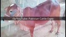 Cow Qurbani 2016-17 Bakra eid in Karachi Pakistan - Sohrab Goth