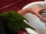 pappagallo che fa il bagnetto; bath ara nobilis
