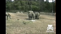 Most disgusting animal video ever - Rhino drinks pee