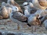 20.2.12 Goéland pontique jaune PESC (Larus cachinnans, Caspian Gull)