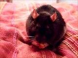 Snack-Rat: Süße Ratte Wanda gönnt sich einen Erdnuss-Snack