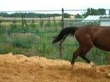 Ramsès : cheval en liberté à 2 ans