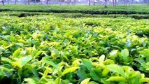 A Beautiful Tea Garden In Srimongal Sylhet, Bangladesh