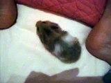 Bébés hamsters