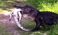 It's A Gator Eat Gator World! Badass Alligator Eats Well After Vanquishing Foe