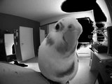 Cockatiel inspects new camera...