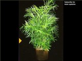 Bamboo Palm Indoor Plant | Indoor House Or Office Plants Picture Collection