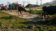 Koeien weer naar buiten 28 Maart 2014