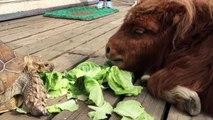 Deux amis se régalent avec de la laitue, mais vous découvrirez bientôt qu'ils ne sont pas seuls...