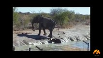 Herd Of Elephants Rescues A Calf - So Beautiful - Latest Sightings