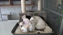 Siamese tabby point kittens