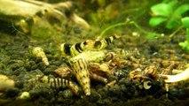 Caridina Breviata Shrimps