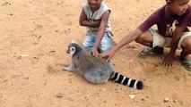 Un lémurien qui sait ce qu'il veut