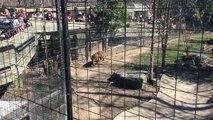 Elle saute dans l'enclos d'un tigre pour récupérer sa casquette