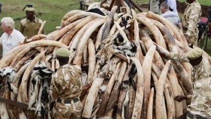 Trasladan marfil incautado en Kenia al lugar donde será quemado