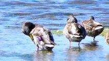 Mallard ducks at mouth of San Simeon Creek at San Simeon State Park CA