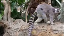 Bronx Zoo Ring-tailed Lemur Babies and Collared Lemur Baby - WCS
